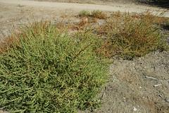 Amaranthus albus (Weeding Wild Suburbia) Tags: ca usa plant gardens weeds publicgardens citypark southpasadena spnp