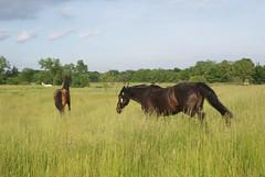 DSC00556 (jmbedel) Tags: ohio horses horse lodi 2014 cessnastables