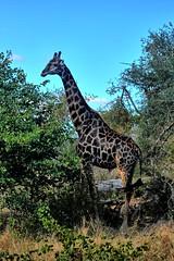 Giraffe feeding (biosynthesis24) Tags: birds southafrica safari giraffe elephants termites impala hippos cheetahs krugernationalpark waterbuffalo crocodiles wildebeest kruger zebras hyenas dika mopani impalaflower