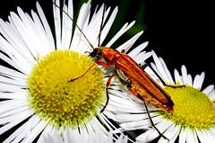 Tra due stelle. (Riccardo Orti) Tags: macro insect natura fiori petali insetti carso margherite sigma105mmmacro oedemera coleotteri naturalistic oedemeridae oedemerapodagrariae pentaxk5ii