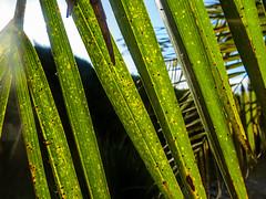 Day 4 of 30: Something Green (Dani Nel) Tags: green leaves 30 fun photo day 4 palm something challenge photofun