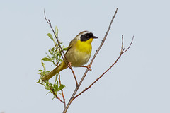 Common yellowthroat (Phiddy1) Tags: ngc