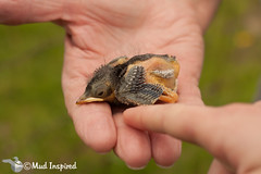 Eastern bluebird chick
