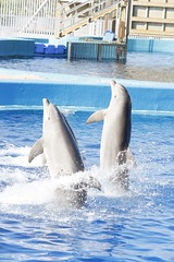 bottlenose dolphin (Olaya Garcia) Tags: españa valencia canon eos spain dolphin delfin bottlenose oceanografic golfinho oceanografico bottlenosedolphin tursiopstruncatus loceanografic tursiops truncatus mular roaz delfinmular arroaz 1000d narizdebotella golfinhoroaz