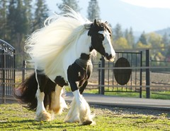 Powerful on the outside, Gentle on the inside (NOT MY HORSE!!!) (Jenny) Tags: horse gypsyhorse gypsystallion jennygrimm sdpatrick