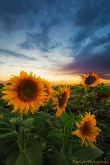 Last Ride of the Sunflower (Jared Ropelato) Tags: park sunset summer jared sky cloud storm flower nature yellow landscape photography outdoor grow july environmental growth photograph sunflower agriculture enviro ropelato ropelatophotography