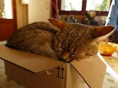 Tigrou le chat (vanaspati1) Tags: chat cat animal animaux bote box vanaspati1