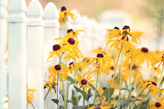 If you want it, work for it.  It's that simple. (Sandra H-K) Tags: fencefriday hff fence flowers flora blackeyedsusan nature outside outdoors yellow white green dof depthoffield dreamy serene helios402 pretty day daytime