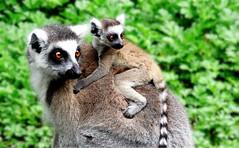 Lemur mum & baby (JayVeeAre (JvR)) Tags: ©2016johannesvanrooy johannesvanrooy johnvanrooy gimp28 picasa3 httpwwwpanoramiocomuser1363680 httpwwwflickrcomphotosjayveeare johnvanrooygmailcom gimpuser gimpforphotography canonpowershotsx60hs hamilton newzealand 2016 hamiltron hamiltonzoo hamiltonzoopark hamiltonhilldalezoopark nature animal animals