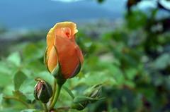 Rose Bud, Explored, best # 22 on Oct. 12, 2016 (presbi) Tags: giardinodellerose rose rosa bud bocciolo trentino valdinon