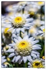WhiteFlower1.jpg (raysul) Tags: flower macro flowerphotography floralart closeup depthoffield decorative beautyinmacro