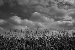 Pré-fall (johan van moorhem) Tags: belgium belgique belgië flanders vlaanderen westvlaanderen ruiselede countryside boerenbuiten platteland harvest cornfield clouds sky rain haiku haikoe