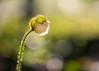 A New Day (mclcbooks) Tags: flower flowers floral macro closeup bud backlit backlighting poppy poppies denverbotanicgardens colorado fall autumn