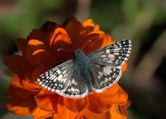 Happy Hallowe'en (KsCattails) Tags: butterfly checkeredskipper fall flower gray kscattails nature overlandparkarboretum zinnia orange black skipper