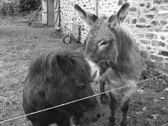 """""""Go on, you ask him"""". Animal Themes Animals In The Wild One Animal Wildlife Grass Animal Head  Mammal Field Herbivorous Fence Safari Animals Day Looking At Camera Outdoors Monochrome Photography Animal Head (KayTee J) Tags: animalthemes animalsinthewild oneanimal wildlife grass animalhead mammal field herbivorous fence safarianimals day lookingatcamera outdoors monochromephotography"""