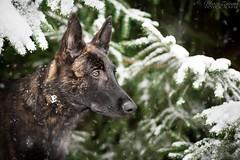 Wintertime (Maria Zielonka) Tags: hund hunde hundefotografie dog dogs dogphotography fotografie photography schferhund hollndischer hollandse herder herdershond dutch shepherd shepherddog weihnachten christmas wald forest tannen schnee snow outdoor shooting maria zielonka