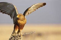 Tawny Eagle (carlos.aantunes) Tags: tawny eagle etosha african africa namibia beautiful wings open fly sky gold yellow bird birds ave de rapina
