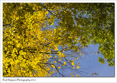 Looking up into the trees (Paul Simpson Photography) Tags: leaves naturalworld nature sonya77 sonyphotography autumn photoof photosof imageof imagesof leaf tree paulsimpsonphotography twigs branches yellowleaves bluesky plant branch