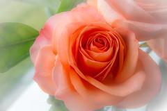 Rose Petal Soft (nwsteve) Tags: flower rose