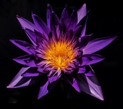Ninfeia (pmenge) Tags: denver botanicgarden ninfeia 18135 xt1