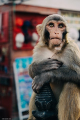 Look into my eyes (cody.waldon) Tags: piercing nepal kathmandu swayambhunath portrait monkey monkeytemple eyes beauty stupa travel animals animal fuji xt1 explore