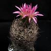 Eriosyce gerocephala '331' (Pequenos Electrodomésticos) Tags: cactus cacto flower flor eriosyce eriosycegerocephala neoporteria neoporteriagerocephala
