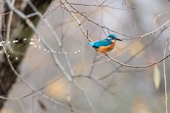 Kingfisher (Alcedo atthis) defecating in tree (Ian Redding) Tags: alcedinidae alcedoatthis british eurasiankingfisher european uk bird birdpoo blue commonkingfisher defecating excrement excreting fauna kingfisher nature naturereserve orange plumage poo pooing projectile sitting toilet tree water wildlife