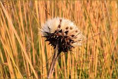 Dry Artichoke Flower (Mabacam) Tags: 2016 surrey rhs royalhorticulturalsociety wisley wisleygardens garden nature grasses grass artichoke flowerhead seedhead