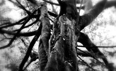 _gnarled (SpitMcGee) Tags: baum tree baumstamm bole knorrig gnarled schlosspark castlepark blackwhite schwarzweis bokeh brühl nrw germany unescowelterbe spitmcgee