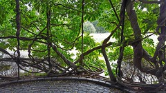 """When Is A Fence Not A Fence...When """"Wisteria""""Takes Over. (standhisround) Tags: plant wisteria fencedfriday hff royalbotanicalgardens kewgardens kew london uk"""