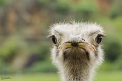 Hi (J Fuentes) Tags: flickr save avestruz ojos