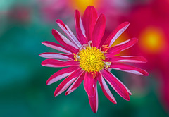 ❅Holiday (12bluros) Tags: chrysanthemum flower flora floral holiday canonef100mmf28lmacroisusm closeup nybg newyorkbotanicalgarden