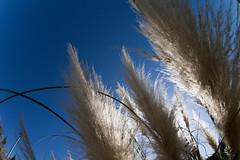 Silver Grasses (nak.viognier) Tags: silvergrasses ryokuchipark osaka 緑地公園 olympusepl3 lumixgfisheye8mmf35