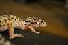 (ryountphotography) Tags: leopardgecko reptiles snowleopardgecko cute