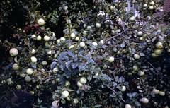 img238 (foundin_a_attic) Tags: april 1973 street houses homes fashion eveyday life england suburbs garden apple tree