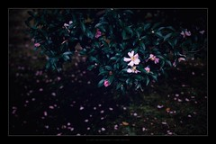 Fallen red (mr ivanchan) Tags: bokeh flower nature lowlight contaxg45 45mm 50mm sony a7rii japan  3000views 1000views 2000views