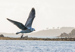 Great Black Backed Gull #1 (scilly puffin) Tags: larus gull islesofscilly
