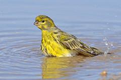 Milheirinha (Chamariz) - European Serin - Serinus serinus (Yako36) Tags: portugal peniche ave bird birdwatching nature natureza tc14e nikonafs300f4 nikond7000