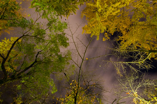 Gingko Trees at Night