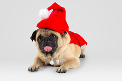 Pug (Krunja) Tags: adorable animal baby background brown bulldog canine cap christmas closeup concept copy costume cute december dog doggy face festive funny gift greetings happy hat holiday isolated joy looking merry new pet portrait pug puppy purebred red santa season seasonal sitting space studio wearing white winter xmas year young