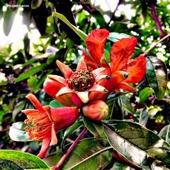 Pomegranate blossom (Poljeianin) Tags: postira islandofbra bra dalmatia dalmacija croatia hrvatska poljeianin fjodorm pomegranate ipak blossom cvat pjaca