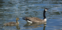 Follow The Leader (swong95765) Tags: learning gosling goose water swim swimming river leader
