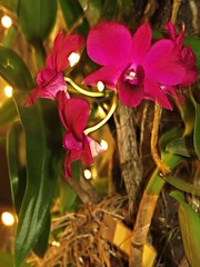 dendrobium genting red (DOLCEVITALUX) Tags: dendrobiumgentingred orchid flower flowers medicinalplants plant plants flora fauna philippines