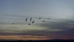 Sandhill Cranes Here for the Winter (Victoria Carpenter) Tags: sandhillcranes birds sacramentodelta migration woodbridgesandhilcranepreserve sunset