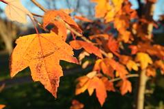 SAM_1849 (falcon170ct) Tags: autumn fall leaves redoak