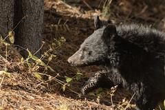 Up close (ChicagoBob46) Tags: blackbear bear cub yellowstone yellowstonenationalpark nature wildlife