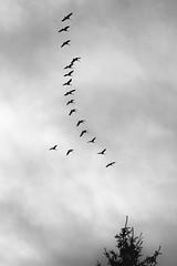 M1002418a (geelog) Tags: bw calgary fall geese migration neighbourhood vformation ab canada