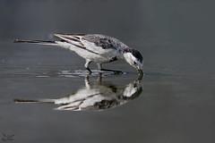 Reflection (nomane172) Tags: whitewagtail wagtail bird animal outdoor wildlife nature wildlifephotography naturephotography birdsofbangladesh dhaka bangladesh nikon nikond500 d500 tamron tamron150600mm 150600mm ngc reflection