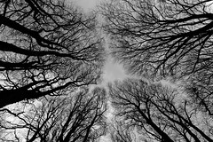 Look up #2 (Myles Pinkney Photography) Tags: trees spindle nikond5300 tokina1116mm wideangle blackandwhite winter treetops canopy fall landscapes forest dartmoor dartmoornationalpark