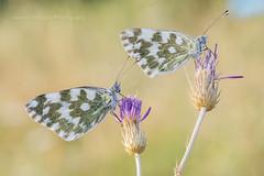 Pontia Edusa... (Samuele81) Tags: pontia edusa macro macrofotografia natura nature ngc nikon butterfly farfalla farfalle bellezza tamron 90mm